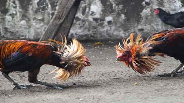 Situs Judi Sabung Ayam S128 Online Terpercaya Indonesia